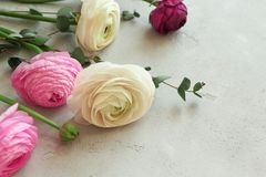 Beautiful fresh ranunculus flowers. On textured background Royalty Free Stock Images