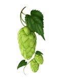 Beautiful fresh realistic hop illustration. Hop, herbs, Humulus beautiful fresh realistic hop illustration stock illustration
