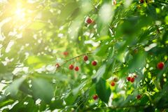 Beautiful and fresh red cherry closeup on branch  blur bokeh background. Beautiful and fresh red cherry closeup on branch  on blur bokeh background Stock Photo