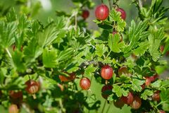 Beautiful and fresh red gooseberry branch in summer on blur bokeh background. Beautiful and fresh red gooseberry on branch in summer on blur bokeh background Stock Image