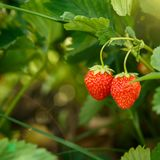 Beautiful and fresh red strawberry close up branch  on blur bokeh background. Beautiful and fresh red strawberry close up on branch  on blur bokeh background Royalty Free Stock Photos