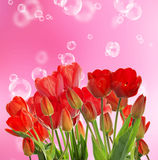 Beautiful  fresh red tulips on abstract  background Royalty Free Stock Image