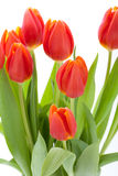 Beautiful fresh red tulips for a loved one Royalty Free Stock Photo