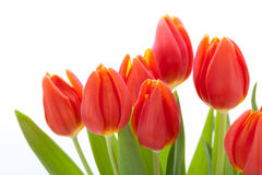 Beautiful fresh red tulips for a loved one Royalty Free Stock Images