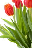 Beautiful fresh red tulips for a loved one Stock Photo