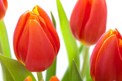Beautiful fresh red tulips for a loved one Stock Image