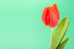 Beautiful fresh red tulips for a loved one Royalty Free Stock Image