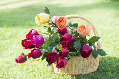 Beautiful fresh roses in basket on the grass Stock Photos