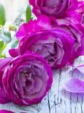 Beautiful fresh roses Stock Image