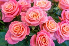 Beautiful, fresh roses, pink color royalty free stock images