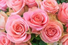 Beautiful, fresh roses, pink color stock image