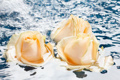 Beautiful fresh roses with reflection, floating in blue water Royalty Free Stock Image