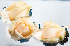 Beautiful fresh roses with reflection, floating in blue water Stock Photos