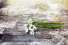 Beautiful fresh snowdrops on dark background Royalty Free Stock Photography