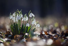 Beautiful fresh snowdrops Royalty Free Stock Images
