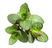 Beautiful fresh sprig of mint. Stock Image
