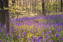 Beautiful fresh Spring bluebell woods Stock Images