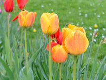 Beautiful fresh spring flowers tulips nature, shallow depth of field concept. Royalty Free Stock Image