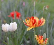 Beautiful fresh spring flowers tulips nature, shallow depth of field concept. Stock Photography