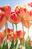 Beautiful fresh tulips in blossom Royalty Free Stock Photos