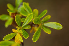 Beautiful, fresh, vibrant leaves of a bog myrtle after the rain. Shallow depth of field closeup macro photo Stock Image