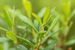 Beautiful, fresh, vibrant leaves of a bog myrtle after the rain. Shallow depth of field closeup macro photo Royalty Free Stock Image