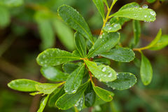 Beautiful, fresh, vibrant leaves of a bog myrtle after the rain. Shallow depth of field closeup macro photo Royalty Free Stock Images