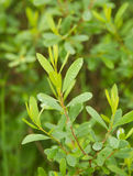 Beautiful, fresh, vibrant leaves of a bog myrtle after the rain. Shallow depth of field closeup macro photo Royalty Free Stock Photos