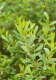 Beautiful, fresh, vibrant leaves of a bog myrtle after the rain. Shallow depth of field closeup macro photo Royalty Free Stock Photo