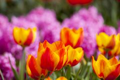 Beautiful fresh and vivid yellow an red tulips Stock Image