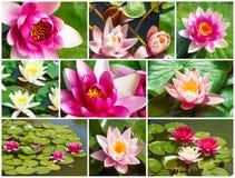 Beautiful fresh water lily, set Stock Image