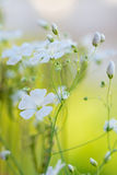 Beautiful fresh white flowers , abstract dreamy floral backgroun Stock Image