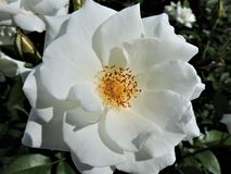 Beautiful fresh white rose at sunny day in summer Helsinki royalty free stock photo
