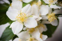 Beautiful fresh white summer jasmine flowers macro Royalty Free Stock Image