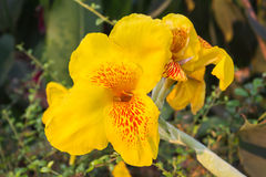 Beautiful fresh yellow Canna Lily flower on nature green backgro Royalty Free Stock Image