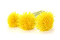 Beautiful fresh yellow Dandelions Royalty Free Stock Images