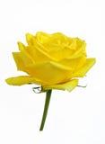 A beautiful fresh yellow rose Stock Image