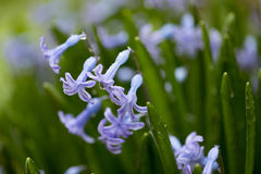Beautiful fresh and young blue flower in dew drops. Beautiful fresh and young blue flowers in dew drops over green. Macro royalty free stock photo
