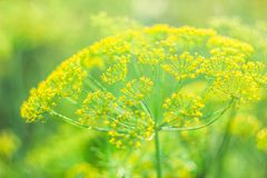 The Bush dill. Beautiful and fresh young green yellow bush dill in summer on a blur bokeh background Stock Photos