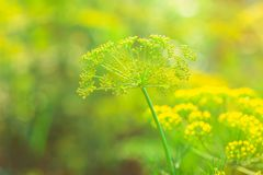 The Bush dill. Beautiful and fresh young green yellow bush dill in summer on a blur bokeh background Royalty Free Stock Photography