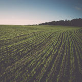 Beautiful freshly cultivated green crop field. Vintage. Royalty Free Stock Photos