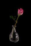 Beautiful freshly cut rose in glass contemporary vase Royalty Free Stock Photography