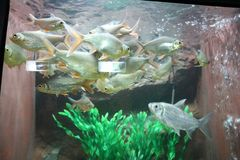 Beautiful freshwater fish in the aquarium are swimming happily royalty free stock photography