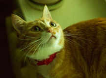 Beautiful friendly domestic red cat Stock Images