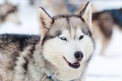 Beautiful friendly husky dog Royalty Free Stock Photos