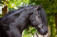 Beautiful friesian horse portrait stock photos