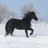 Beautiful friesian mare with mane running in snow