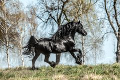 Beautiful black friesian stud stallion. Beautiful friesian stud stallion. In the pasture in the light of the sun black king of Polish horse breeding royalty free stock photo