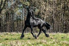 Beautiful black friesian stud stallion. Beautiful friesian stud stallion. In the pasture in the light of the sun black king of Polish horse breeding stock images
