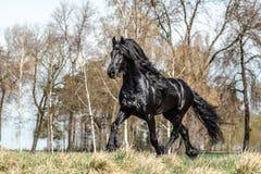 Beautiful black friesian stud stallion. Beautiful friesian stud stallion. In the pasture in the light of the sun black king of Polish horse breeding royalty free stock photos